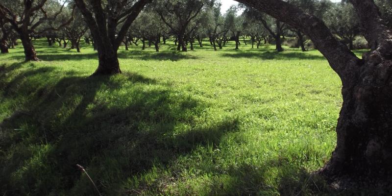 1 oelbaumgarten