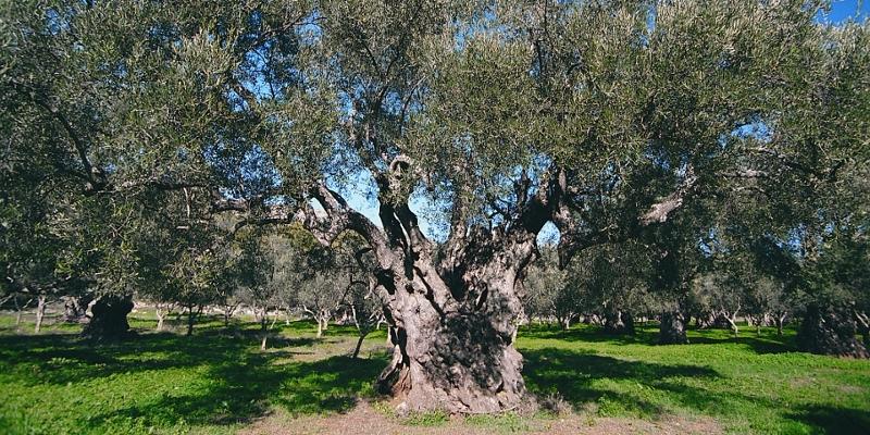3 oil tree garden 1